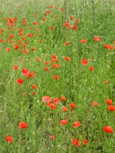 klaproos in Vlaamse velden - poppies in Flanders' fields - coquelicots en prairies flamands ©YRH2016